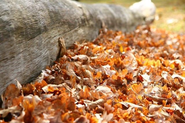 drakensberg-autumn-leaves